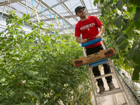 A male student in a red University of Arizona Wildcats t-shirt stands on a ladder in a greenhouse while caring for crops.