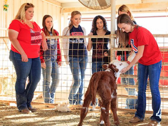 A group of University of Arizona students observe as another student uses a bottle to feed a calf.