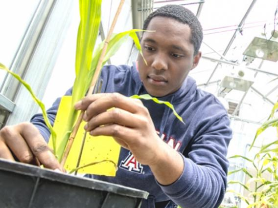 A male University of Arizona student evaluates a maize plant in a greenhouse.