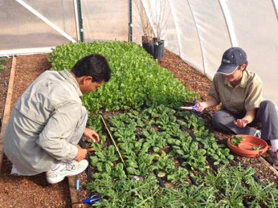 Two University of Arizona students harvesting green vegetables in a greenhouse.